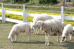 Sheep. Baby animal farm filed Royalty Free Stock Image