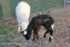 Sheep and baby goat eating Stock Photography