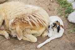 Sheep and baby. Lay down in the farm royalty free stock images