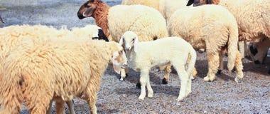 Sheep baby portrait royalty free stock photos