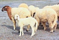 Sheep baby portrait royalty free stock photo