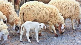 Sheep baby portrait royalty free stock images