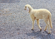 Sheep baby portrait stock photography