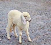 Sheep baby portrait royalty free stock photography