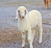 Sheep baby portrait. Sheep life in the sheep farm stock image