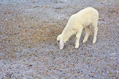 Sheep baby portrait stock images