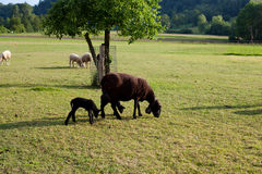 Sheep and baby sheep on pasture in evening light Royalty Free Stock Photos