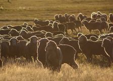 Sheep backlit by the sunrise. Stock Photos