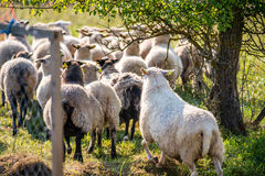 Sheep backs. Flock of sheep in a group outdoors stock photo