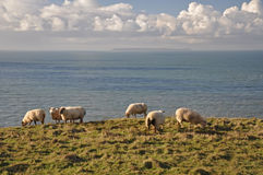 Sheep at Baggy Point Royalty Free Stock Images