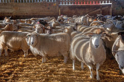 Sheep in a barn Stock Photography
