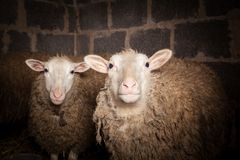 Sheep in the barn Stock Photography