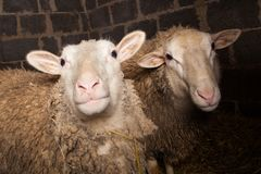 Sheep in the barn Royalty Free Stock Photography