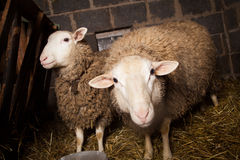 Sheep in the barn Stock Photos