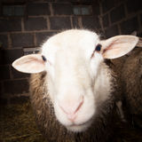 Sheep in the barn Stock Images