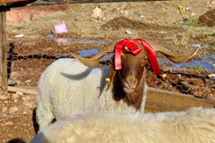 Sheep in the barn before feast of the sacrifice. Sacrificial sheep red ribbon attached to the horns Stock Image