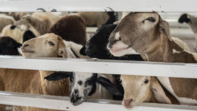 Sheep in the Barn. A herd of sheep in the barn Royalty Free Stock Photo