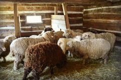 Sheep in a Barn. A herd of sheep inside a barn at Old World Wisconsin waiting to be sheared, smell a freshly sheared sheep who just came in the barn Stock Photos