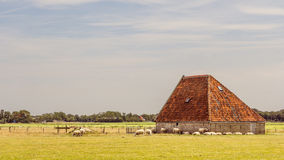 Sheep barn Stock Images