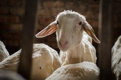 Sheep in barn stock photo