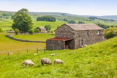 Sheep and a Barn in the Yorkshire Dales. Sheep grazing outside a traditional farm barn in the Yorkshire Dales in England Stock Photo