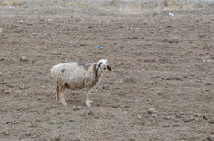 Sheep. A sheep in a barren field Stock Image