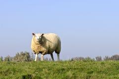 Sheep in beautiful autumn sunlight Stock Photos