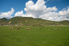 Sheep. Beautiful China Yunnan Shangri-La Prairie Stock Images