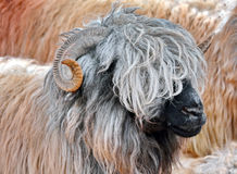 Sheep. Beautiful hairy portrait sheep stock photos
