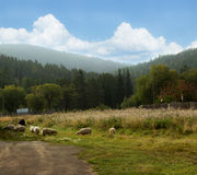 Sheep on beautiful mountain meadow Royalty Free Stock Photo