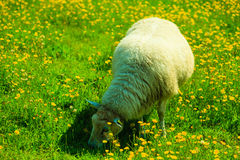 Sheep on beautiful mountain meadow in Norway Royalty Free Stock Photography