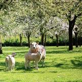 Sheep in the beautiful orchard Royalty Free Stock Photos