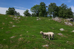 Sheep on the beautiful pasture in Norway. Stock Image
