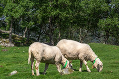 Sheep on the beautiful pasture in Norway. Stock Photography