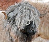 Sheep. Beautiful portrait closeup detail royalty free stock photography