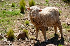 Sheep beeing curious royalty free stock image