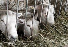 Sheep behind bars Stock Photos