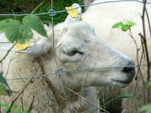 Sheep Behind Fence Royalty Free Stock Image