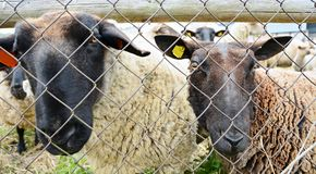 Sheep behind the fence Stock Photo