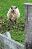 Sheep behind a fence Stock Photo