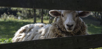 Sheep behind fence. Merino sheep behind a wooden fence Stock Photos