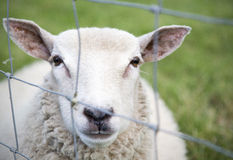 A sheep behind a a fence Stock Photography