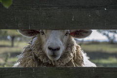 Sheep behind fence. White sheep behind a wooden fence Stock Photos