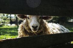 Sheep behind fence. White sheep behind a wooden fence Royalty Free Stock Photography