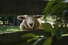 Sheep behind fence. White sheep behind a wooden fence Royalty Free Stock Photo