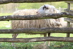 Sheep behind Wooden Fence. Sheep's standing behind the wooden fence Stock Photography
