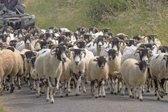 Sheep Being Driven Along a Lane. Royalty Free Stock Photos