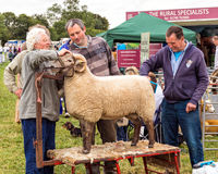 Sheep grooming, Hanbury Countryside Show. A ram being groomed before entering the showring at the annual Hanbury Countryside Show in Worcestershire, England Royalty Free Stock Image