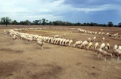 Sheep being hand fed during drought. Lightning Ridge in the far north west of NSW, Australia. stock being hand fed with corn every day during a drought stock images