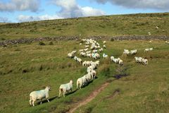 Sheep being herded on Dartmoor near Littaford Tors Royalty Free Stock Image